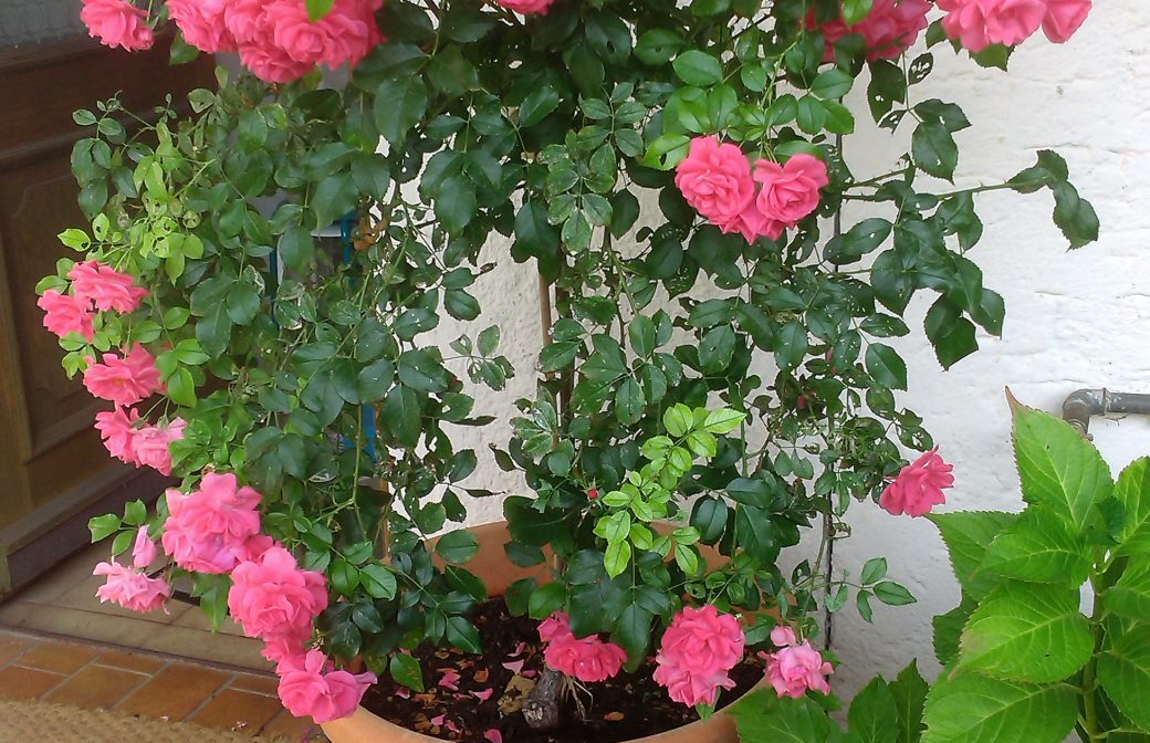 Schnittkurs Ziersträucher und Rosen